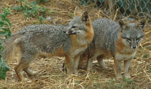 a pair of island foxes, from the National Park Service via Wikimedia Commons