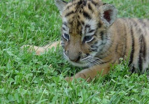 Baby Tigers by futz