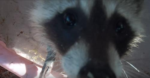 up close shot of raccoon face just before it steals camera from girl