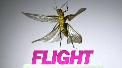 image of a stonefly in slow motion flight with the word Flight underneath